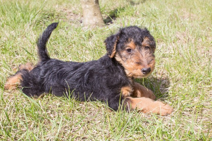 Welsh terrier chiots
