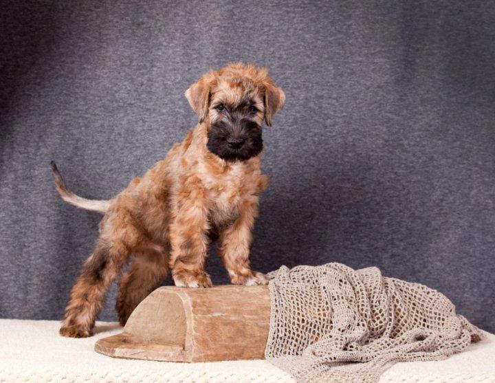 Irish Terrier à poil doux chiots