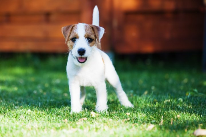 Parson Russell terrier chiots