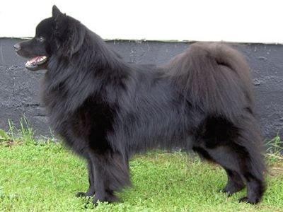 Lapphund suédois