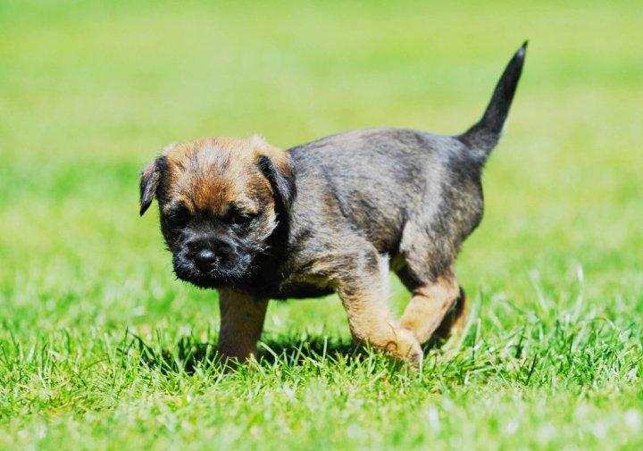 Border Terrier chiots