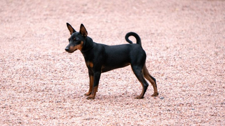 Toy Manchester Terrier chiots