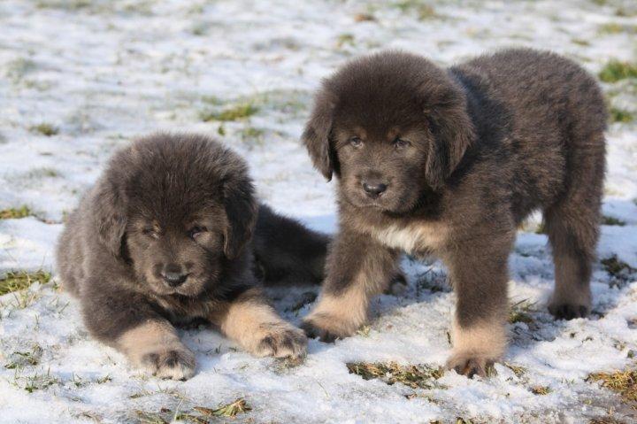 Dogue du Tibet chiots
