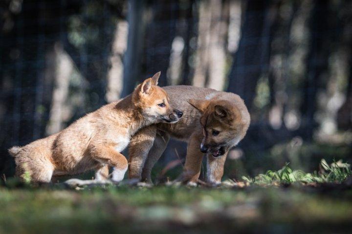Dingo chien chiots