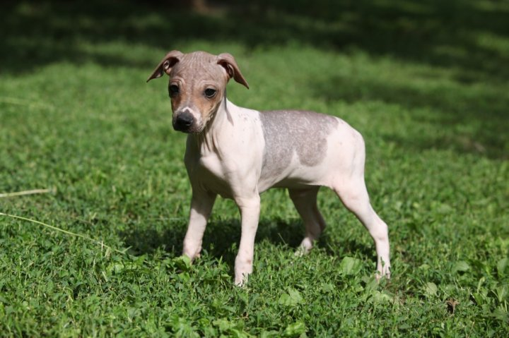 American Hairless terrier chiots