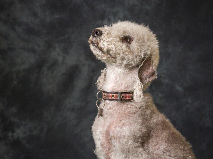 Bedlington terrier chiots