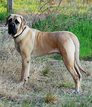 Mastiff Américain
