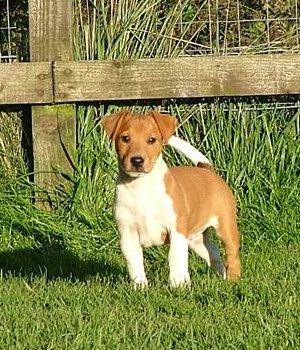 Plummer Terrier chiots