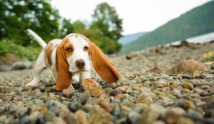 Basset hound chiots