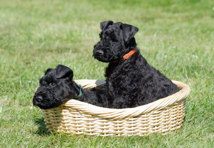 Terrier Kerry Blue chiots
