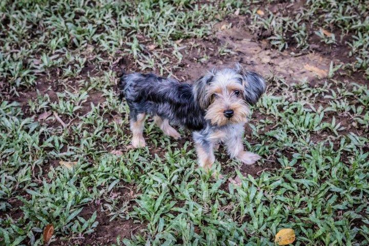 Terrier australien à poil soyeux chiots