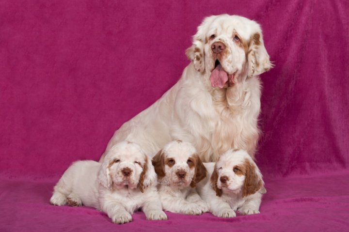 Clumber Spaniel chiots