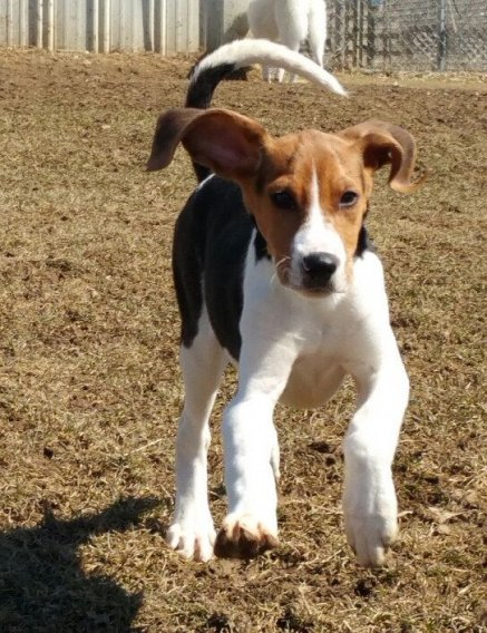 Treeing Walker Coonhound chiots