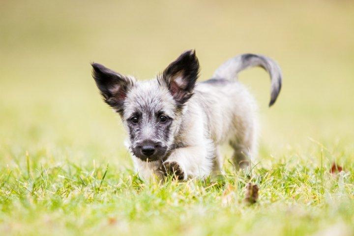 Terrier écossais chiots