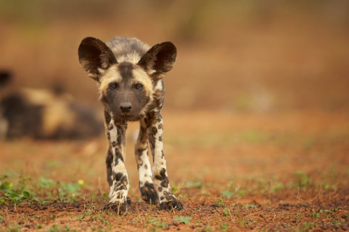 African Wild Dog chiots