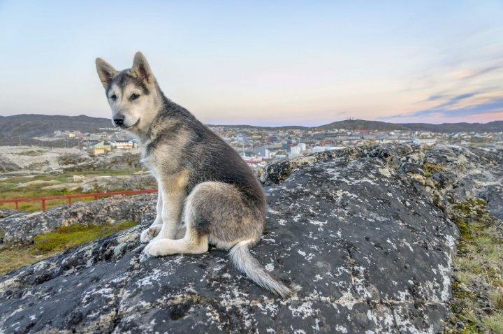 Chien inuit du nord chiots