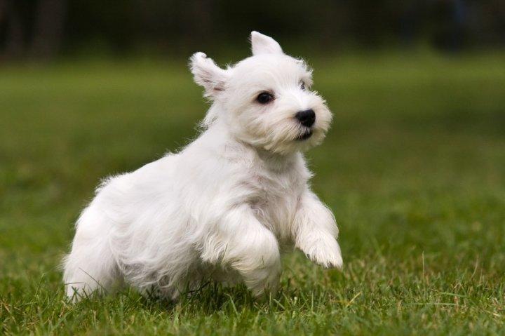 Sealyham Terrier chiots