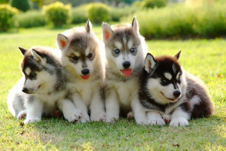 Husky de Sibérie chiots