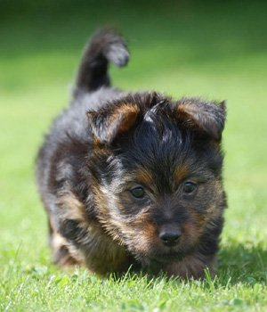 Terrier australien chiots