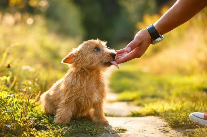 Norwich Terrier chiots