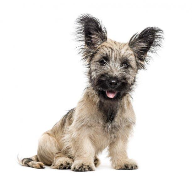 Skye terrier chiots